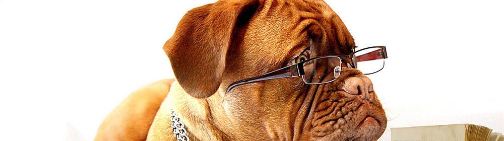 Wie lange dauert ein Semester? - Ein brauner und weißer Hund schaut in die Kamera - Bordeauxdogge