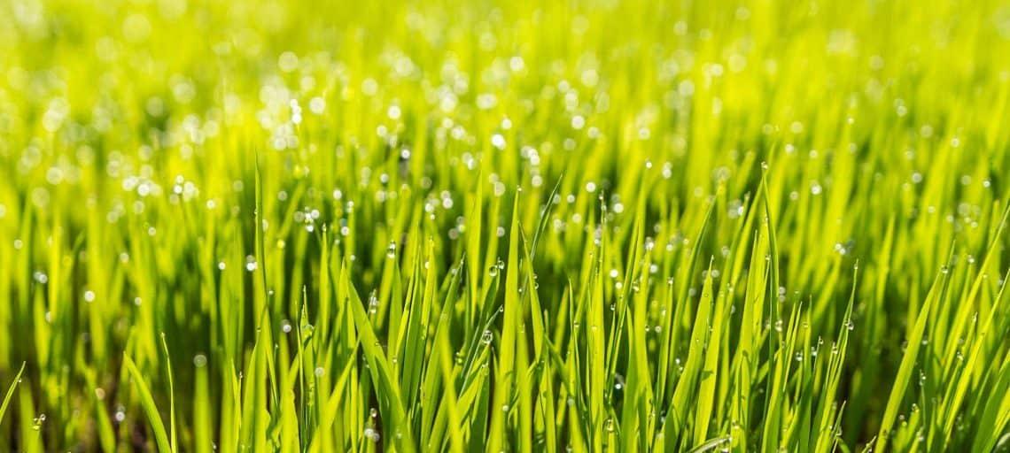 Wie lange dauert es, bis Rasen keimt? - Eine Nahaufnahme von etwas Gras - Rasen