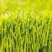 Wie lange dauert es, bis Rasen keimt?