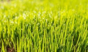 Rasen sehr grün