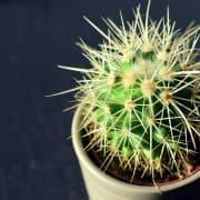 … es, ein Kaktus anzuwachsen?